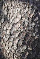 黒松の樹皮
