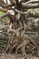 室戸岬 アコウの樹