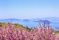 ボタンザクラと瀬戸内海