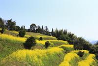 伯方島の開山公園 菜の花咲く段々畑