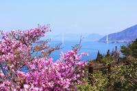 瀬戸内海 伯方島の開山公園 ツツジと多々羅大橋