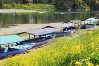 肱川 屋形船とナノハナの花