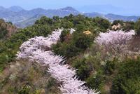 岩城島 積善山のサクラ 11076011414| 写真素材・ストックフォト・画像・イラスト素材|アマナイメージズ