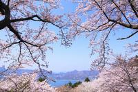 岩城島 積善山のサクラ 11076011416| 写真素材・ストックフォト・画像・イラスト素材|アマナイメージズ