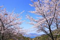 岩城島 積善山のサクラ 11076011422| 写真素材・ストックフォト・画像・イラスト素材|アマナイメージズ