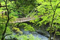 新緑と祖谷のかずら橋
