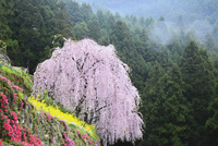 川井峠のシダレザクラ 11076011534| 写真素材・ストックフォト・画像・イラスト素材|アマナイメージズ