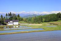 春の棚田と集落に北アルプス (爺ヶ岳・鹿島槍ヶ岳・五竜岳)