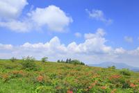 霧ヶ峰高原のレンゲツツジ