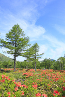 湯ノ丸高原のレンゲツツジ