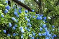 アジサイの花 11076011693| 写真素材・ストックフォト・画像・イラスト素材|アマナイメージズ