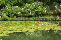 ハスとアジサイの花 11076011696| 写真素材・ストックフォト・画像・イラスト素材|アマナイメージズ