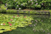 ハスとアジサイの花 11076011697| 写真素材・ストックフォト・画像・イラスト素材|アマナイメージズ