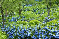 アジサイの花 11076011698| 写真素材・ストックフォト・画像・イラスト素材|アマナイメージズ
