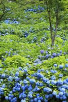 アジサイの花 11076011699| 写真素材・ストックフォト・画像・イラスト素材|アマナイメージズ