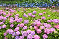 アジサイの花 11076011700| 写真素材・ストックフォト・画像・イラスト素材|アマナイメージズ