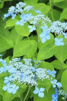 エゾアジサイの花 11076011722| 写真素材・ストックフォト・画像・イラスト素材|アマナイメージズ