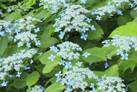エゾアジサイの花 11076011723| 写真素材・ストックフォト・画像・イラスト素材|アマナイメージズ