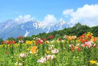 ユリの花畑と北アルプス (白馬槍ヶ岳)