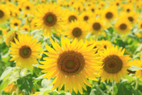 ヒマワリの花畑 11076011743| 写真素材・ストックフォト・画像・イラスト素材|アマナイメージズ