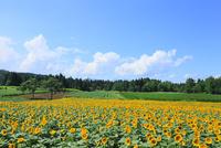 沖ノ原のヒマワリ畑 11076011749| 写真素材・ストックフォト・画像・イラスト素材|アマナイメージズ