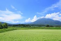 柏原のソバ畑と黒姫山