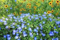 アサガオとヒマワリの花