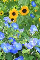 ヒマワリとアサガオの花
