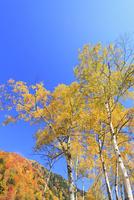 白樺紅葉と青空