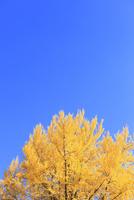 イチョウ紅葉と青空