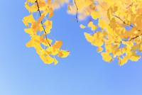 イチョウ紅葉にトンボと青空 11076012225| 写真素材・ストックフォト・画像・イラスト素材|アマナイメージズ