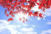 モミジ紅葉と太陽