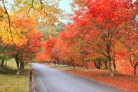 モミジ紅葉の並木道