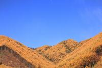 カラマツ紅葉と青空