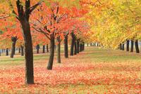 サクラ紅葉の並木道