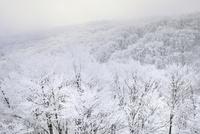 霧氷の木々と森