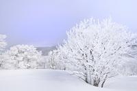 霧氷の木々 11076012483| 写真素材・ストックフォト・画像・イラスト素材|アマナイメージズ