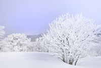 霧氷の木々