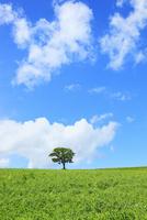 美瑛(丘の木と豆畑)