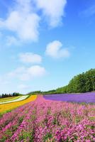 富良野(コマチソウとラベンダーの花)