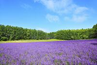 富良野(ラベンダーの花と青空)