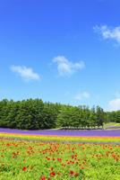 富良野(ポピーとラベンダーの花)