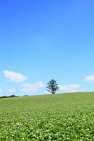 美瑛(丘のカラ松とジャガイモ畑)