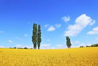 美瑛(赤羽の丘のポプラと麦畑) 11076012555| 写真素材・ストックフォト・画像・イラスト素材|アマナイメージズ