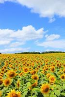 ヒマワリの花と青空 11076012581| 写真素材・ストックフォト・画像・イラスト素材|アマナイメージズ