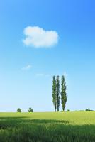 美瑛(赤羽の丘のポプラと麦畑)