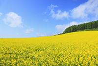 富良野(カラ松林とキガラシの花) 11076012597| 写真素材・ストックフォト・画像・イラスト素材|アマナイメージズ
