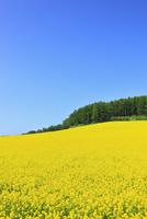 富良野(カラ松林とキガラシの花) 11076012600| 写真素材・ストックフォト・画像・イラスト素材|アマナイメージズ