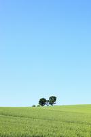 美瑛(親子の木と麦畑)