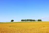 美瑛(セブンスターの木と白樺並木・麦畑) 11076012606| 写真素材・ストックフォト・画像・イラスト素材|アマナイメージズ